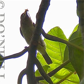 © BROWN BARBET EATS FRUIT WITH STYLE PART 5