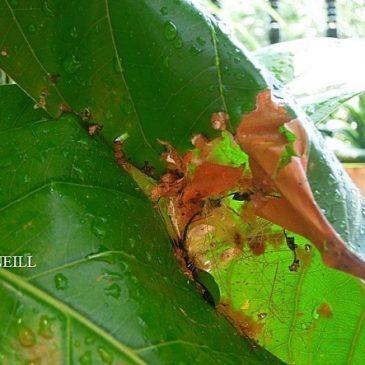 © Nesting Common Tailorbirds: One Full Circle Part 2