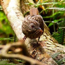 © Streaked Wren-babbler Takes Arachnid at Maxwell's Hill