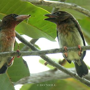 © FORAGING BROWN BARBETS OF SE ASIA PART 3