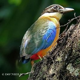 © Insights To Blue-winged Pittas Part3