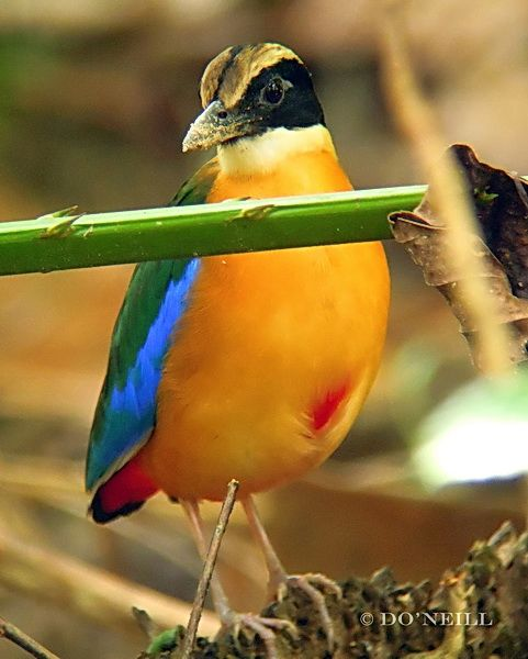 © MY ODYSSEY WITH BLUE-WINGED PITTAS: PART 1: A SUMMARY