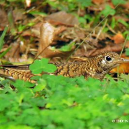 © Foraging Behaviour of White's Thrush at Cuc Phuong NP. Part 3