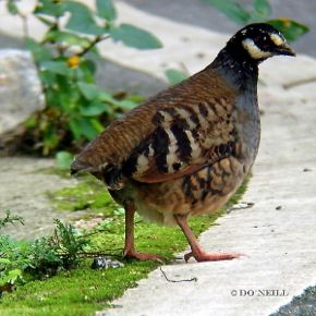 MY FIRST ENDEMIC ENCOUNTER WITH MALAYAN PARTRIDGES