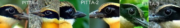 © Insights To Blue-winged Pittas Part 2