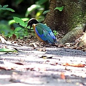 © Insights To Blue-winged Pittas: Part 1 Anting