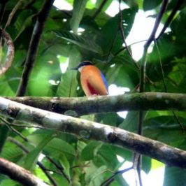 © MY ODYSSEY WITH BLUE-WINGED PITTAS: PART 6. BREEDING MODE
