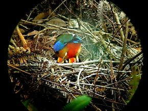 © MY ODYSSEY WITH BLUE-WINGED PITTAS PART 9: Feeds and Faecal Sacs