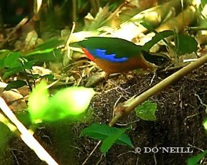 © MY ODYSSEY WITH BLUE-WINGED PITTAS PART 13: Nest rebuilding