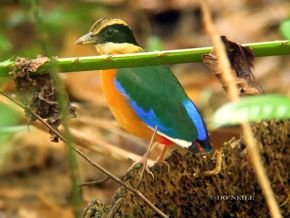 © MY ODYSSEY WITH BLUE-WINGED PITTAS PART: 4. PREEN-N-POO BEHAVIOUR