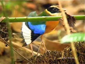 © MY ODYSSEY WITH BLUE-WINGED PITTAS:  PART 5. Plumage & Sexing
