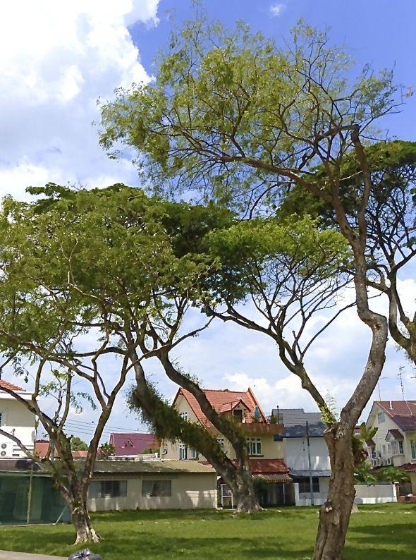 Common Flameback 'anting' - but using tree sap