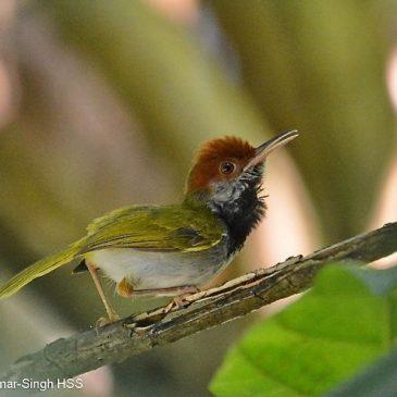 Dark-necked Tailorbird – calls