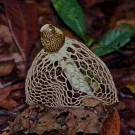 Save MacRitchie Forest: 15. Stinkhorn fungus and butterflies