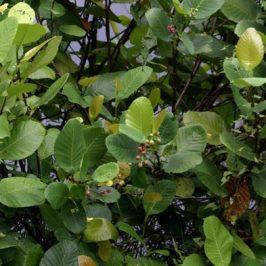 <em>Dillenia suffruticosa</em>, also known as <em>Simpoh Air</em>