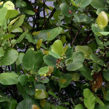 Dillenia suffruticosa, also known as Simpoh Air