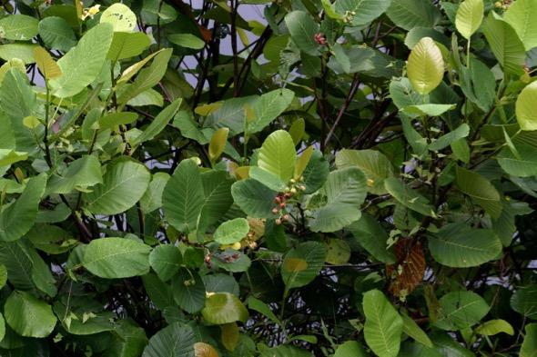 Dillenia suffruticosa bush [wyc]
