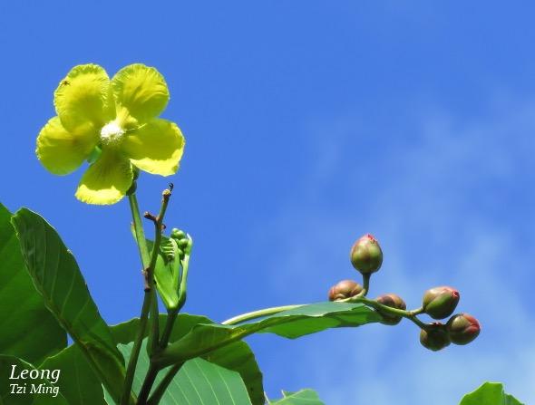 Bunga Simpoh Ayer