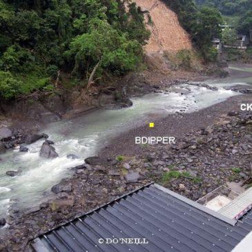 © Brown Dipper Shrimping at Tonghou River