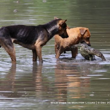 Stray dogs attacked Malayan Water Monitor