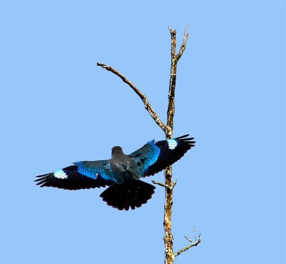 The Dollarbird (Eurystomus orientalis)