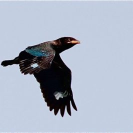Early Flight of A Juvenile Dollarbird