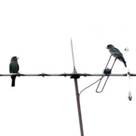 Dollarbird pair on a TV antenna…