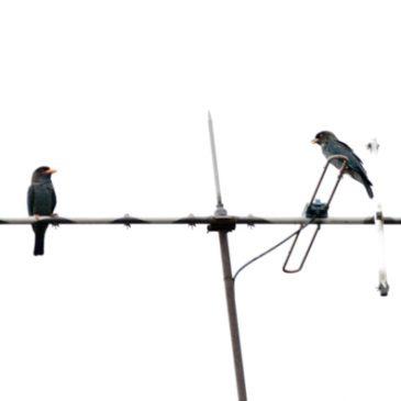 Dollarbird pair on a TV antenna…