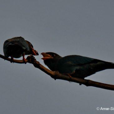 Dollarbird – family group and feeding juveniles