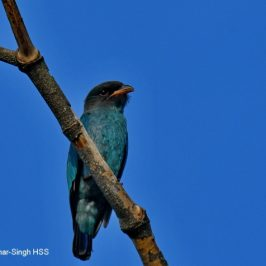 Dollarbird – Juveniles and adults