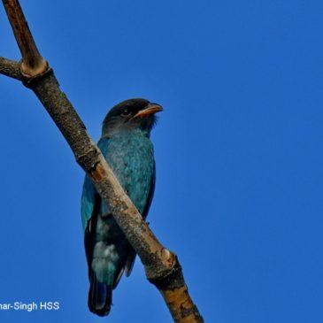 Dollarbird – Juveniles and adults