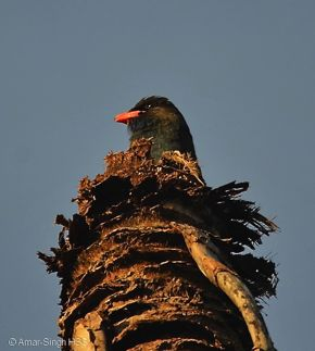 Call of the Dollarbird – Bird Ecology Study Group