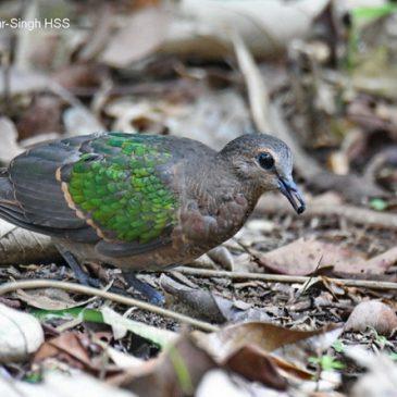 Emerald Dove – immature bird feeding