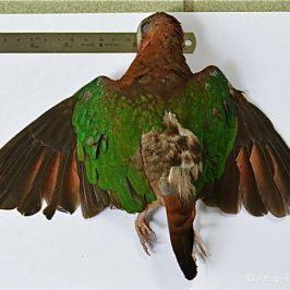 A closer look at a juvenile male Emerald Dove
