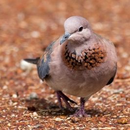 Laughing Dove: 1. Behaviour during incubation