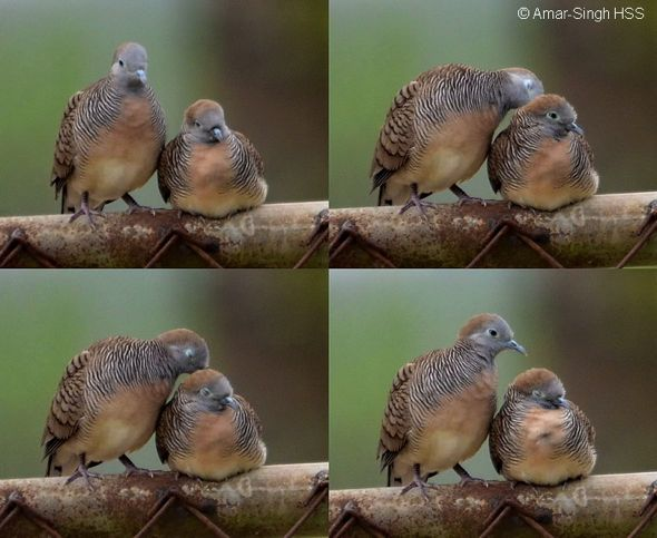 Peaceful Dove – sex differences and courting
