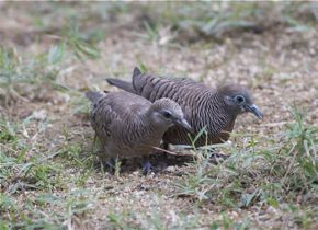 Feeding of Spotted Dove: 13. A pair of Peaceful Doves