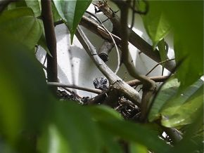 Peaceful (Zebra) Dove: 4. Fledging