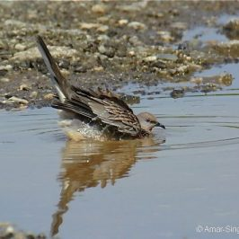 Spotted Dove bathing