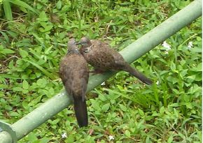 Spotted Doves' moment of intimacy