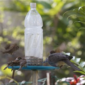 Feeding Spotted Doves: 17. A feeder for the birds