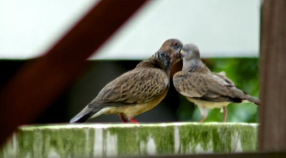 Adult Spotted Dove feeding juveniles with crop milk