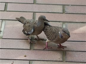 Feeding Spotted Dove: 15. Courtship
