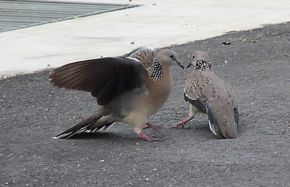 Spotted Doves in territorial dispute
