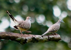 Peaceful Dove in courtship mode