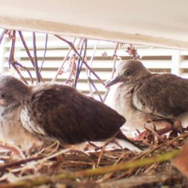 Nesting of Spotted Doves outside school hall