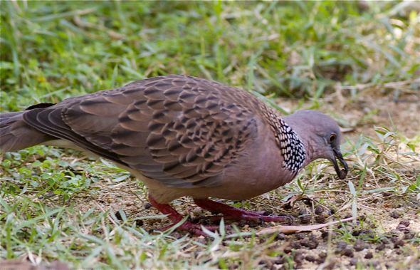 Feeding Spotted Dove: 14. Papaya seeds