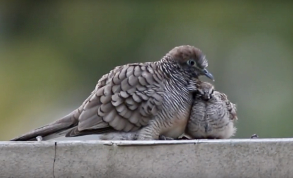 Juvenile Zebra Dove remained in my garden for 28 days