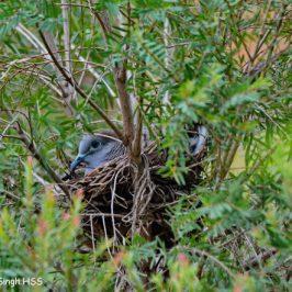 Zebra Dove using bulbul's nest
