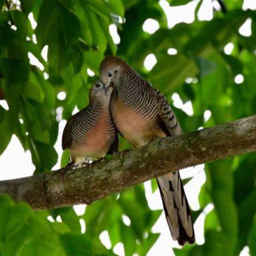 Courtship feeding by regurgitation in Zebra Doves
